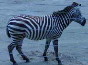I look like a horse in stripes pyjamas.
