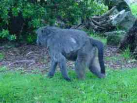 A monkey has a tail and an ape does not!