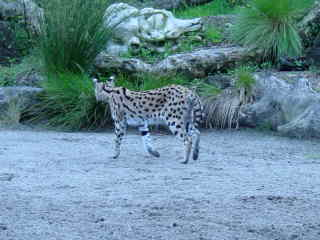 I am a large cat, can you see my spots?