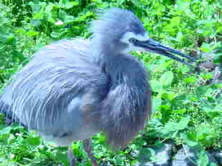 My beak is long and pointed, great for catching fish.