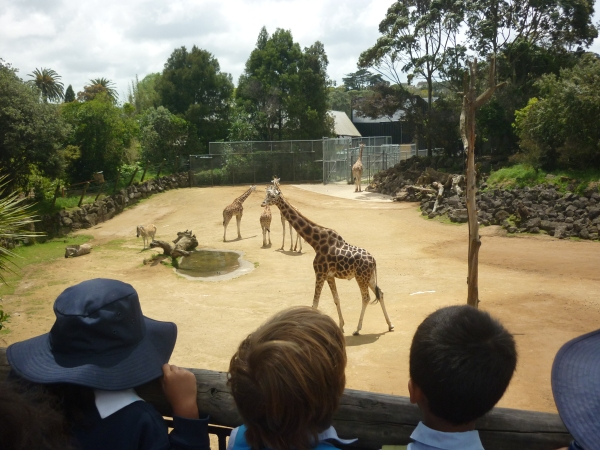 Observational skills are being refined while looking at the giraffes.