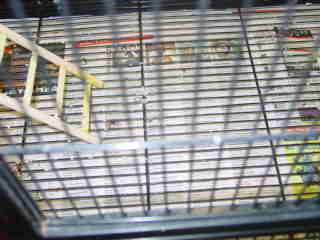 The cage has newspaper lining the cage so it is easy to clean.