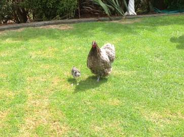 The neighbour's hen came over with her two chicks. One was grey and one was white.
