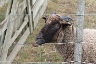 A horned sheep