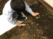 Patting the soil around the roots