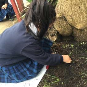 Planting before bell time