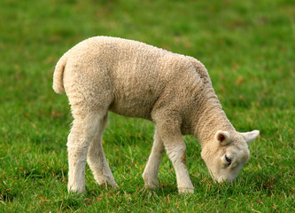 One baby sheep