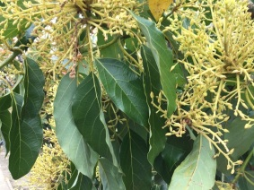 flowers on the avocado tree