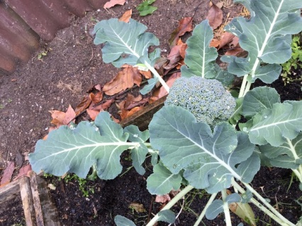Growing broccoli heads
