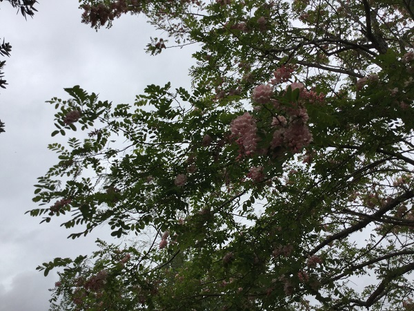 A big flowering tree. we can see it is spring!